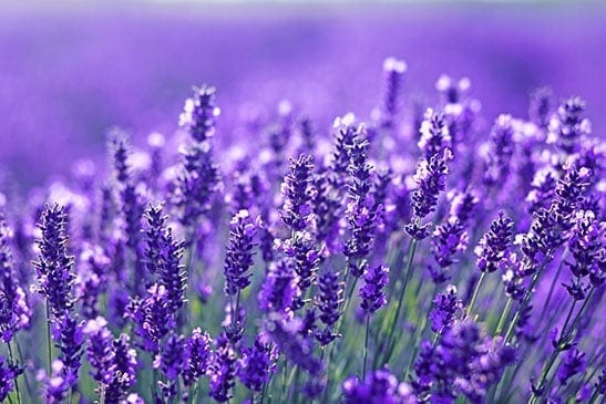Lavender is a sleep aid