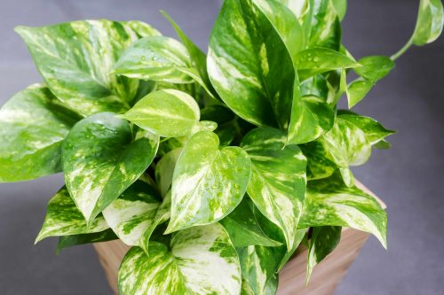 golden pothos in a pot will help cleanse the air and aid sleep