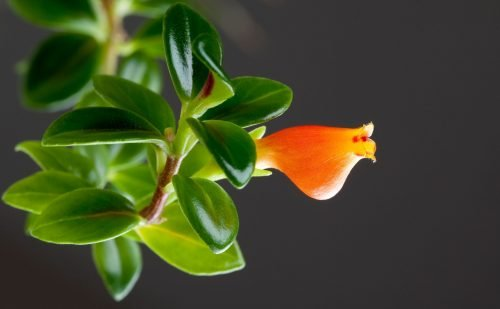 goldfish plant and flowers are not poisonous to pets