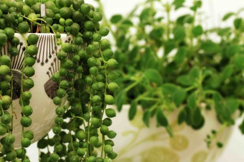 string of pearls plant in white pot