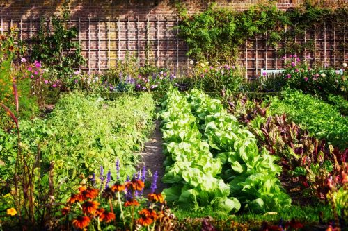 Vegetable Garden with lettuce and flowers ready for harvest