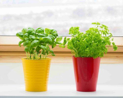 growing herbs inside on kitchen window