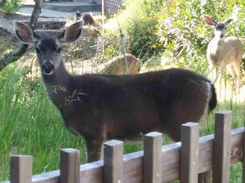 young deer are in the garden eating everything