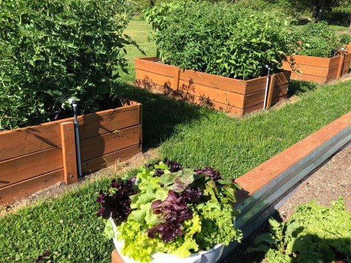 lettuce harvested from vegetable garden with tomato plants in raised beds behind